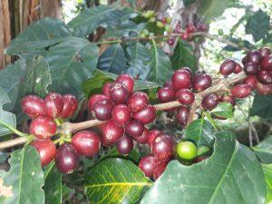 Cafe maduro, las margaritas, organico, de finca