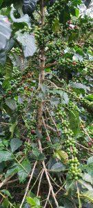 Café de finca, origen, las margaritas, palo de café, Quindio Colombia, cafe verde